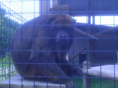 A Black Howler Monkey--he refused to howl for me, but finally decided  to come down and make faces!