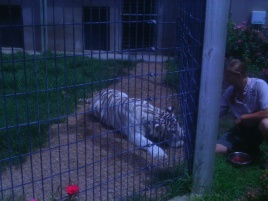 Sky, the 9 year old female White Tiger. She loves her ground beef