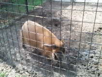 Red River Hog looking for bugs in the mud!