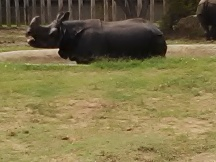 Indian Rhinoceros - this one is excited for feeding time!